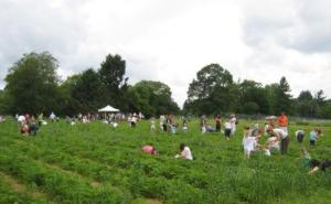 Our strawberry fields filled with happy pickers